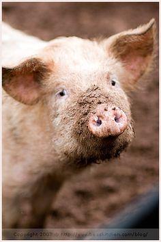 I ♥ pigs.