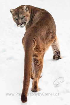 Cougar ✿⊱╮ by VoyageVisuel Pretty Cats, Beautiful Cats, Animals Beautiful, Big Cats, Cool Cats, Cats And Kittens, Pumas Animal, Animals And Pets, Cute Animals