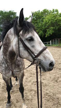 #greyhorse #Horse #pony #thoroughbred #dappledgrey #hunterhorse