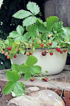 I should put ever bearing berries in some of my tin basins. I could even raise them up so the rabbits couldn't eat them.