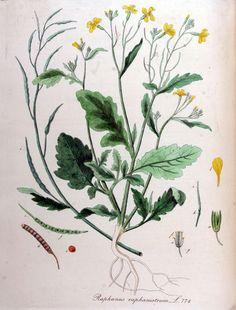 """Knopherik - Raphanus Raphanistrum (Onze groenten en onze wilde vruchten bij de keuken aangepast - A. Bracke 1941) """"Inderdaad het is deze plant die er den oorsprong van radijzen is.""""  """"Men kiest de malschte bladeren uit, men ontdoet ze van de bijzonderste rib en van den bladsteel.  Laat zacht stoven met gerooste brokjes brood of aardappelen, in kubusjes gesneden."""""""