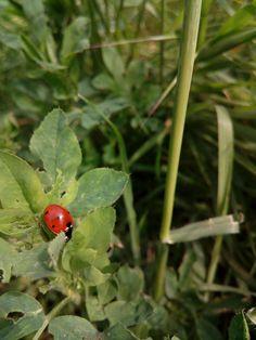 #ladybug #red #green