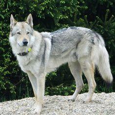Nero československý vlčiak, wolfdog