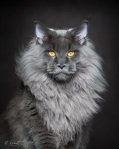 La bellezza regale e imponente dei gatti del Maine fotografata da Robert Sijka