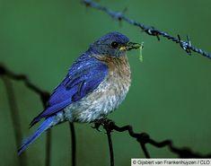 Cornell Birds of North America | North American Bluebird Society Annual Meeting