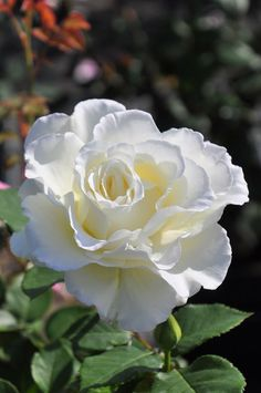 beautiful flowers at night Beautiful Rose Flowers, Flowers Nature, Exotic Flowers, Pretty Flowers, White Flowers, One Rose, Coming Up Roses, White Gardens, Flower Photos