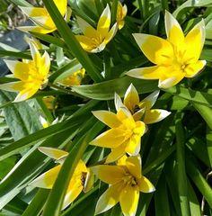 Wildtulpen gehören in jeden Garten  Wir brauchen Farben  #Garten #Gartenliebe #tulpen #tulpe #tulpenliebe #tulips #tulip  #tulpenzeit #tulipa #bloom #blooms #Gartenglück #Gartenzeit #Gartenträume #Gärten #Blume #Blumen #Blumenliebe #Blumenfotografie #blumenzauber #nature  #naturelover  #naturephotography  #flowers #flower #naturesbeauty  #naturelove  #PictureoftheDay  #photooftheday