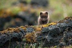 The fox is well-known for its overwhelming beauty, intelligence, and cunning. Red foxes (Vulpes vulpes) are known best by most of us as they are the most widely spread – their habitats include forests, grasslands, mountains, and deserts. Here are 22 pictures that will show you these creatures' glamorous beauty and natural charm.