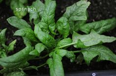 spinach, how to grow it in your backyard. here's a new unique way to garden, be prepared and grow food to eat. don't buy gold, buy seeds and be able to feed yourself. blog with pics and how to.