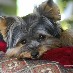 Yorkshire Terriers images The beautiful Yorkie HD wallpaper and Yorkshire Terrier Haircut, Yorkshire Terrier Puppies, Terrier Dogs, Silky Terrier, Yorkie Puppy, Teacup Yorkie, Baby Yorkie, Best Dogs, Cute Dogs