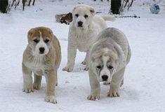 Central Asian Ovcharka puppies