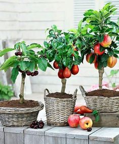 Grow Dwarf Fruit Trees in Baskets in your small space garden.