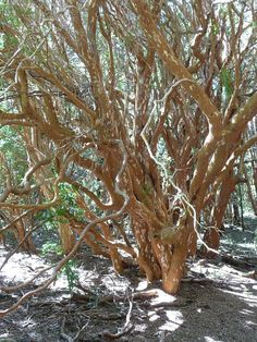 Luma apiculata (Chilean myrtle) is a species of flowering plant in the myrtle family, native to the central Andes between Chile and Argentina, at 33 to 45° south latitude. Growing to 10–15 m (33–49 ft) tall and wide, it is a vigorous, bushy, evergreen tree with fragrant flowers.