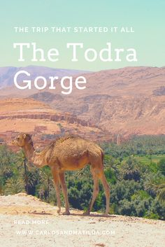 camel in morocco todra gorge