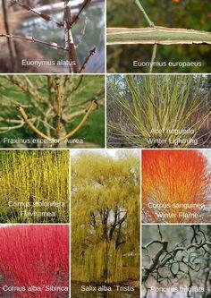 Ornamental woody plants in winter Acer negundo ´Winter Lightning´  Cornus alba ´Sibirica´  Cornus sanguinea ´Winter Flame´  Cornus stolonifera ´Flaviramea´ Euonymus alatus  Euonymus europaeus  Fraxinus excelsior ´Aurea´ Poncirus trifoliata  Salix alba ´Tristis´