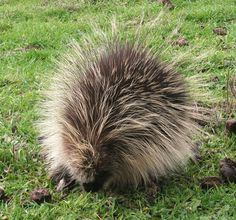 Baby Porcupine in the Pasture  *dansuehath