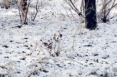 12 Dogs Who Have Truly Mastered The Art Of Camouflage - Obviously dalmatians were bred to be ninjas in snowy areas.