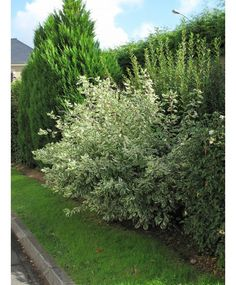 Cornus alba elegantissima - Cornouiller blanc - Levavasseur