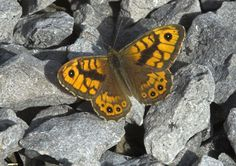 Butterfly Conservation is a British charity devoted to saving butterflies, moths and their habitats throughout the UK. Amphibians, Reptiles, Best Camouflage, Northern England, Little Brown, Tree Tops, Butterfly Wall, Natural World, Conservation