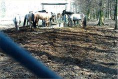 wisentgehege am deister in niedersachsen-wildpferde aus portugal