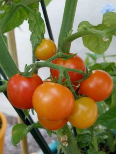 Amazing How to Produce the Best-Tasting Tomatoes Ideas - Grow Tomatoes Tips How to Grow Tomatoes in Hot Weather: cherry tomatoes in various stages of ripene - Tips For Growing Tomatoes, Growing Tomato Plants, Growing Tomatoes In Containers, Growing Vegetables, Grow Tomatoes, Baby Tomatoes, Dried Tomatoes, Roasted Tomato Basil Soup, Tomato Salad