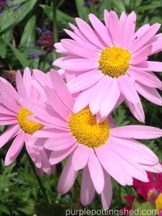 Painted daisies in pastel pink, www.purplepottingshed.com