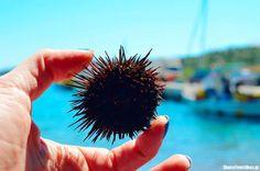 axinos #summer #Greece #sea #urchin