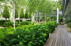 GARDEN DESIGN BY SALLIS CHANDLER: VIEW TO GLASS PAVILION, DECKING, HYDRANGEA 'ANNABELLE', BETULA JACQUEMONTII
