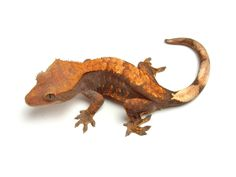 Chocolate Orange Harlequin | The Urban Gecko Gecko Terrarium, Crested Gecko, Geckos, Chocolate Orange, Apollo, Dragons, Tropical, Urban, Projects