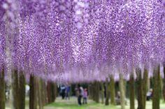 目を奪われる絶景として世界中で話題!北九州市「河内藤園」の藤棚! | 福岡県 | [たびねす] by Travel.jp