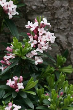 Hybrid Daphne - the delicious smell that floods all of portland in summer