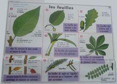 Les feuilles (affiche scolaire) School Posters, Same Love, Vintage School, Science, French Vintage, Vintage Posters, Plant Leaves, Education, Jim Crow