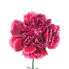 January's birth flower, the carnation, comes in several different colors to convey different meanings, much like roses. A pink carnation means affection, while a red carnation means 'I love you.' White carnations mean pure love, striped carnations means regret that a love is not shared, and yellow means rejection or disappointment.