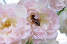 Mon rosier liane fait le bonheur des abeilles.