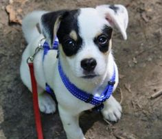 jack russell terrier mix - Google Search
