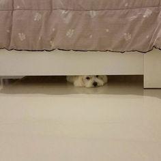 Oh no! Tomorrow is monday...  #maltês #malteses #maltese #maltesedogs #maltesegirl #cachorro #cão #dog #pet #malteselovers #maltesefans #maltese101 #malteseworld #maltesedoglovers #malteseofficial #instapet #instadog #dogsofinstagram #ilovemydog #tagsforlike #cute #cutedogs #adorable #malteseofinstagram #hideaway  by claudinha_br  http://bit.ly/teacupdogshq