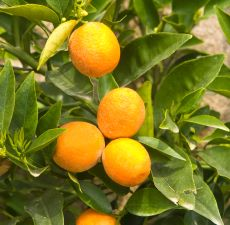 Bergamot essential oil - Bergamot is a type of orange, although its color is closer to a lemon. Its oil (derived from the rind) shares traits with both, as a citrus aroma known to be balancing, stress-reducing and motivating. It's part of our 100% natural Pitta fragrance blend.