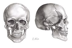 This is my sketch of the human skull based on a technical drawing from a textbook. The Skulls Anatomy Sketches, Anatomy Art, Anatomy Drawing, Skull Reference, Figure Drawing Reference, Skull Model, Skull Sketch, Drawing Heads, Skeleton Art