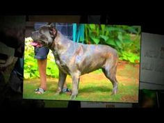 Cane Corso Breeders, Cane Corso Dog, Cane Corso Puppies, Pit Bulls, Puppies For Sale, Large Dogs, Mans Best Friend, Dog Breeds, Pets