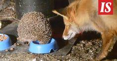 Imatralaisella takapihalla tavakseen aterioiva siili haluaa syödä illallisensa yksin.
