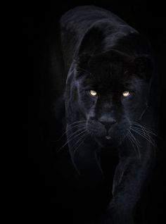 A black panther is typically a melanistic color variant of any Panthera species. Black panthers in Asia and Africa are leopards (Panthera pardus). Black panthers in the Americas are black jaguars (Panthera onca). Black Animals, Animals And Pets, Cute Animals, Puma Animal Black, Wild Animals, Black Puma, Black Panthers, Beautiful Cats, Animals Beautiful