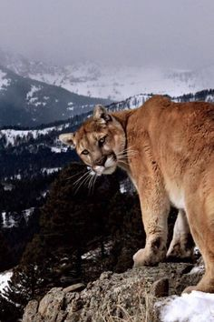 I'll legit bite the shit out of you. (If this mountain lion could talk) Big Cats, Cool Cats, Cats And Kittens, Beautiful Cats, Animals Beautiful, Animals And Pets, Cute Animals, Mountain Lion, Ocelot