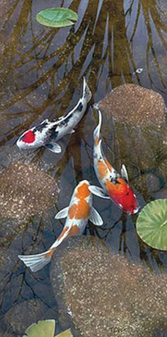 "Koi fish are the domesticated variety of common carp. Actually, the word ""koi"" comes from the Japanese word that means ""carp"". Outdoor koi ponds are relaxing. Koi Fish Pond, Fish Ponds, Koi Art, Fish Art, Colorful Fish, Tropical Fish, Koi Painting, Japanese Koi, Japanese Dragon"