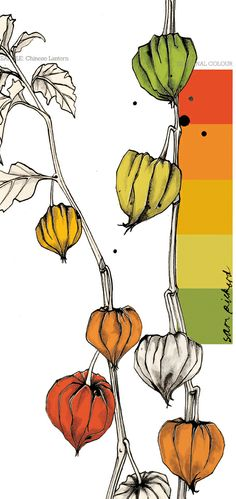 Planet Sam: Colour from the season - Chinese Lantern orange