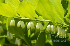 "Spring White Flower in a garden.  From ""Flowers"" photo art prints."