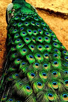 There isn't a bird feather more beautiful than a peacock feather. Peacock And Peahen, Peacock Tail, Peacock Bird, Peacock Feathers, Green Peacock, Peacock Colors, Hair Feathers, Peacock Pattern, Peacock Design