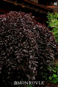 Purple-Leaf Weeping European Beech -- Fagus sylvatica 'Purpurea Pendula' -- ft tall, spreading wider -- full sun -- zones -- photo by Doreen Wynja Landscaping Plants, Garden Plants, Landscaping Ideas, Backyard Plan, Backyard Ideas, Weeping Trees, Monrovia Plants, European Garden, Gothic Garden