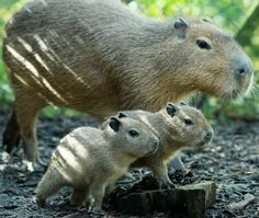 Capybara Twins
