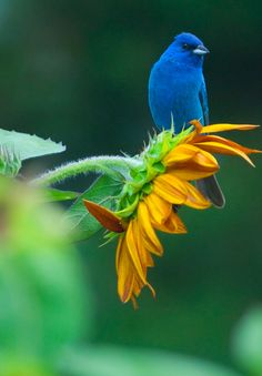 Male Indigo Bunting (Passerina cyanea) on a sunflower. The indigo bunting is a small seed-eating songbird in the cardinal family. It is migratory and ranges from southern Canada to northern Florida during the breeding season. (Jonathan Bobbe on flickr)