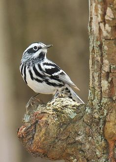 black and white warbler - Google Search